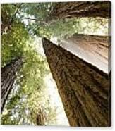 Redwood Heaven Canvas Print