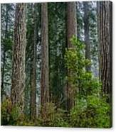 Redwood Lineup Canvas Print