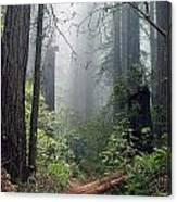Redwood Mist Canvas Print