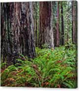 Redwood Sentinels Canvas Print