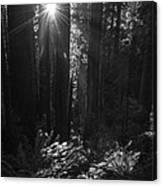 Redwood Sunburst Monochrome Canvas Print