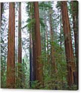 Redwood Trees Canvas Print