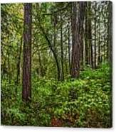 Redwoods 2 Canvas Print