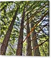 Redwoods 3 Big Basin Canvas Print