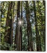 Redwoods Canvas Print