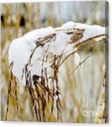 Reed With Snow Canvas Print