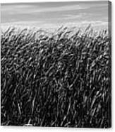 Reeds And Sky Canvas Print