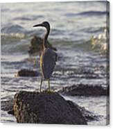 Reef Egret Canvas Print