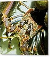 Reef Lobster Close Up Spotlight Canvas Print