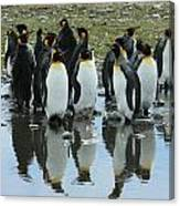 Reflecting King Penguins Canvas Print