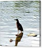 Reflection Of The Green Heron Canvas Print