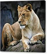 Reflections Of A Lioness Canvas Print