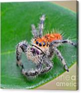 Regal Jumping Spider Canvas Print