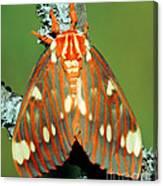 Regal Moth Canvas Print