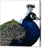 Regal Peacock Canvas Print