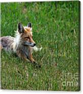 Relaxing Red Fox Canvas Print