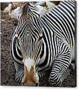 Relaxing Zebra Canvas Print