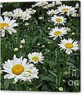 Requested Daisies Canvas Print