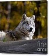 Resting Arctic Wolf On Rocks Canvas Print