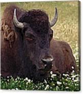 Resting Bison Canvas Print