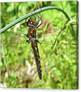Resting Brown Dragonfly Canvas Print