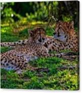 Resting Cheetahs Canvas Print