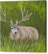 Resting Deer Canvas Print