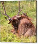 Resting Elk Canvas Print