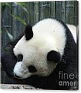 Resting Giant Panda Bear Canvas Print