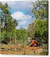Resting Longhorn Bull - San Marcos Texas Hill Country Canvas Print