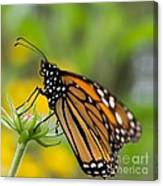 Resting Monarch Butterfly Canvas Print