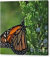 Resting Monarch Canvas Print