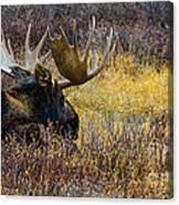Resting Moose Canvas Print