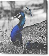 Resting Peacock Canvas Print
