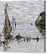 Resting Pied-billed Grebe Canvas Print