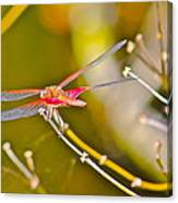 Resting Red Dragonfly Canvas Print