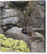 Resting Seal Canvas Print