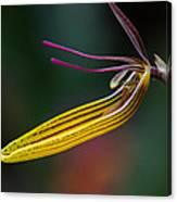 Restrepias Orchid Canvas Print