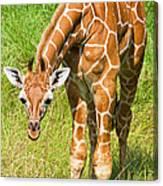 Reticulated Giraffe 6 Week Old Calf Canvas Print