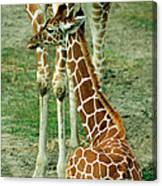 Reticulated Giraffe And Calf Canvas Print