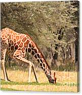 Reticulated Giraffe Drinking At Waterhole Kenya Canvas Print