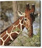 Reticulated Giraffe Feeding On Acacia Canvas Print