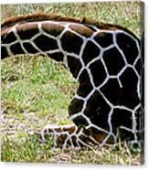 Reticulated Giraffe On Ground Canvas Print