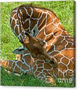 Reticulated Giraffe Sleeping Canvas Print
