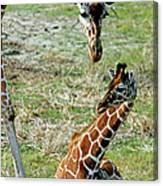 Reticulated Giraffe With Calf Canvas Print