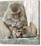 Rhesus Monkeys Grooming Canvas Print