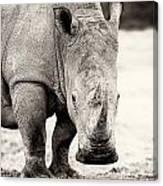 Rhino After The Rain Canvas Print