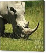Rhino Covered In Flies Canvas Print
