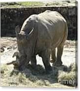 Rhino Eating Canvas Print