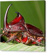 Rhinoceros Beetle Canvas Print